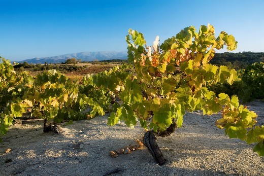 Yellow vineyard in autumn, in San Esteban de la Sierra, Sierra de Francia, at the end of the image we can see the Sierra de Béjar, Biosphere Reserve of Sierra de Béjar and Francia : Stock Photo