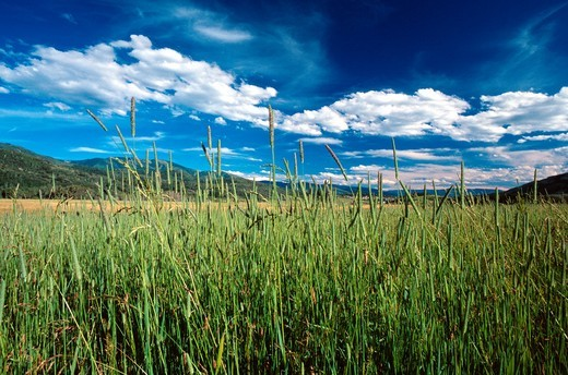 Stock Photo: 1566-576213 Tall Grass in hay field, Strawberry Park near Steamboat Springs, CO, USA