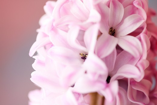 Highly Fragranced Pink Hyacinth : Stock Photo