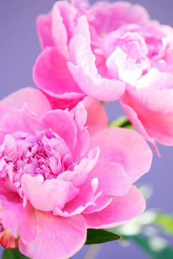Two Lovely Fragrant Sarah Bernhardt Pink Peonies : Stock Photo
