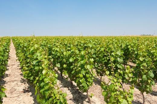Vineyard des Agaises at Haulchin, Hainaut, Belgium : Stock Photo