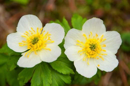 Stock Photo: 1566-578934 Marsh marigold, Yoho National Park, British Columbia, Canada