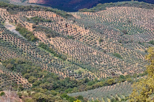 Stock Photo: 1566-579673 Olive groves in Sierra de las Villuercas, Caceres Province, Spain