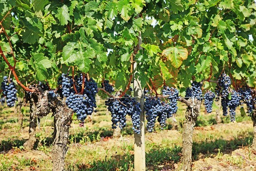 France, Gironde, Saint-Emilion, Bordeaux vineyards, red wine grapes : Stock Photo