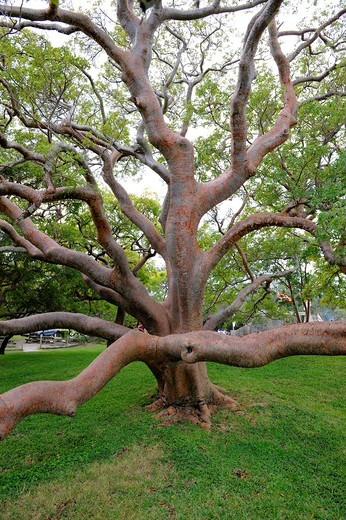 Stock Photo: 1566-579974 70 year old gumbo limbo tree at the DeSoto National Memorial Bradenton Florida