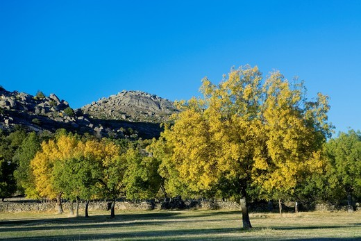 Stock Photo: 1566-580198 Yellow ash Fraxinus excelsior in autumn, in the Sierra de Valdesangil, next to Sierra de Béjar, Salamanca province, Biosphere Reserve of Sierra de Béjar and Francia