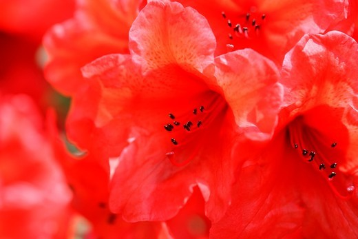 Stock Photo: 1566-580620 Charming Red Azaleas with an Orange Flare