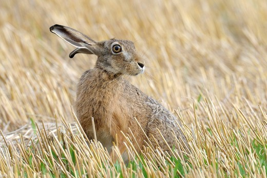 Stock Photo: 1566-581036 European brown hare (Lepus europaeus) in summer, Germany, Europe