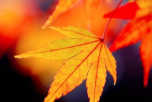 Stock Photo: 1566-581154 Japanese maple leaf Acer Japonicum branch at Kyoto Japan