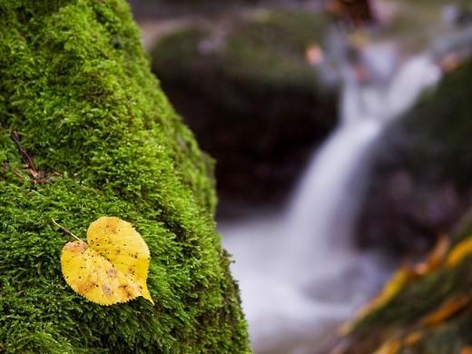 Hoja de tilo y arroyo de Tobía en otoño, en el hayedo y valle del mismo nombre - Comarca de Anguiano - Sierra de la Demanda - Sistema Ibérico - La Rioja - España : Stock Photo