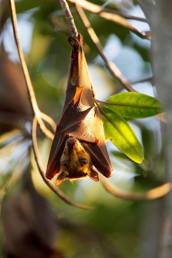 Stock Photo: 1566-581755 Gambian Epauletted Fruit Bat, Epomophorus gambianus, hanging in tree in sunset light, The Gambia