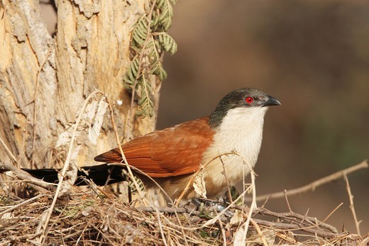 Stock Photo: 1566-581756 Senegal Coucal, Centropus senegalensis, sitting in tree, The Gambia, Africa