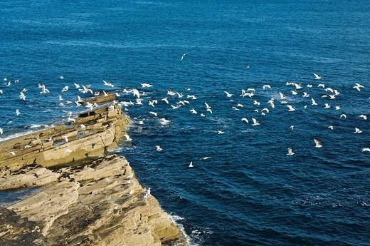 Flock of seabirds flying off rocky north isles scottish coast Seagulls BIRD ORKNEY : Stock Photo