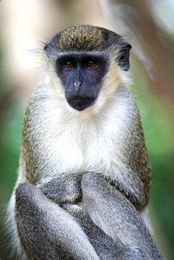 Stock Photo: 1566-582200 Green Monkey, Chlorocebus sabaeus, portrait, The Gambia