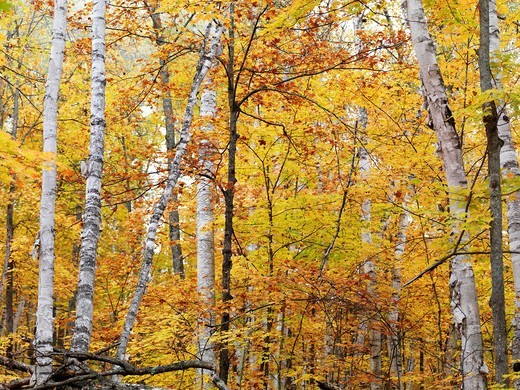 Fall nature scenery of birch trees with colorful yellow leaves in a forest  Arrowhead Provincial Park, Ontario, Canada : Stock Photo