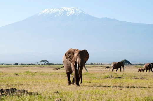 Kenya, Amboseli, Kilimanjaro, elephant herd : Stock Photo
