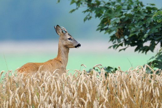 Roe buck (Capreolus capreolus) in grain field, Summer, Germany, Europe : Stock Photo