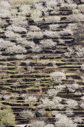 Stock Photo: 1566-585176 Cherry tree Prunus avium - Cultivated cherry trees also called wild cherry or sweet cherry in full blossom cover the slopes of the Valle del Jerte  The blossom takes place during a two-week period in spring usually in late March  Cáceres province, Extrema