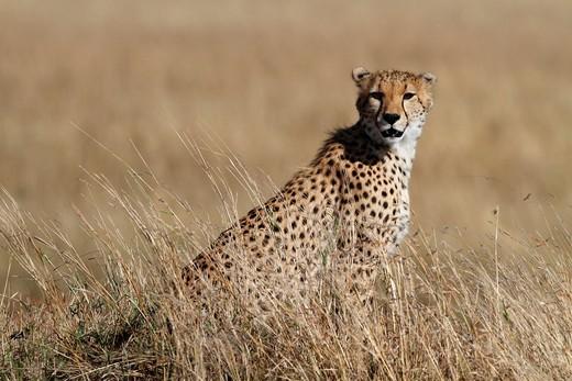 Cheetahs : Stock Photo