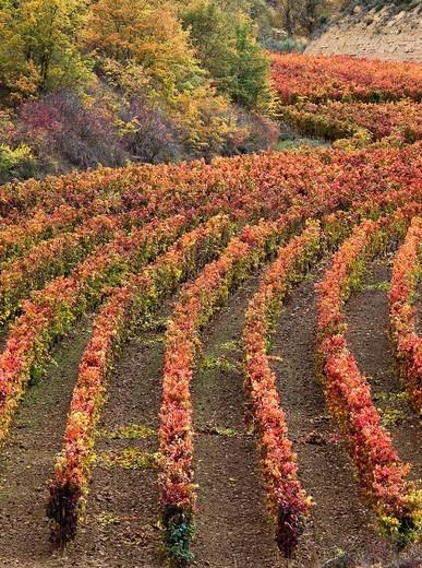 Stock Photo: 1566-585893 Viñedos en otoño en El Villar de Álava - Rioja Alavesa - Euskadi - España