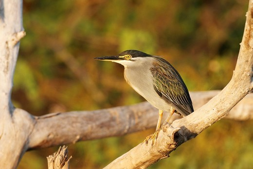 Green-backed Heron or Striated Heron, Butorides striatus, sitting on branch in sunset light, The Gambia : Stock Photo