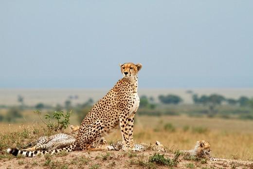 Stock Photo: 1566-586424 Cheetah family