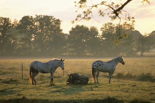 horses in meadow, Lancaster County, Pennsylvania, United States : Stock Photo