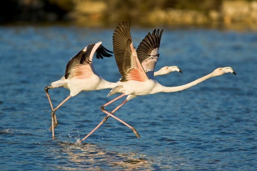 Stock Photo: 1566-587742 Two Greater Flamingos Phoenicopterus ruber running to take off at PN Ses Salines, Eivissa, Spain