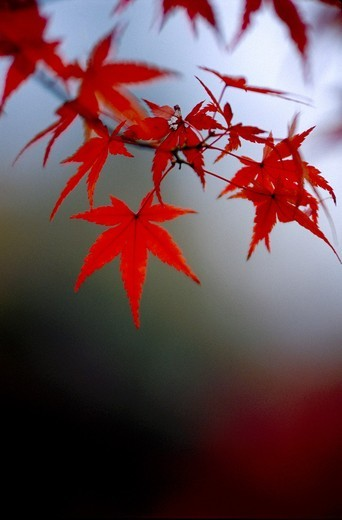 Japanese maple leaf Acer Japonicum branch at Kyoto Japan : Stock Photo