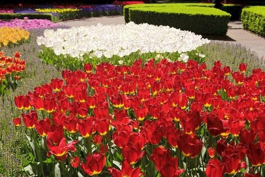 Tulips Holland : Stock Photo