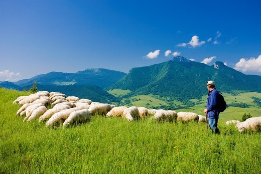 sheep herd with herdsman, Mala Fatra, Slovakia : Stock Photo