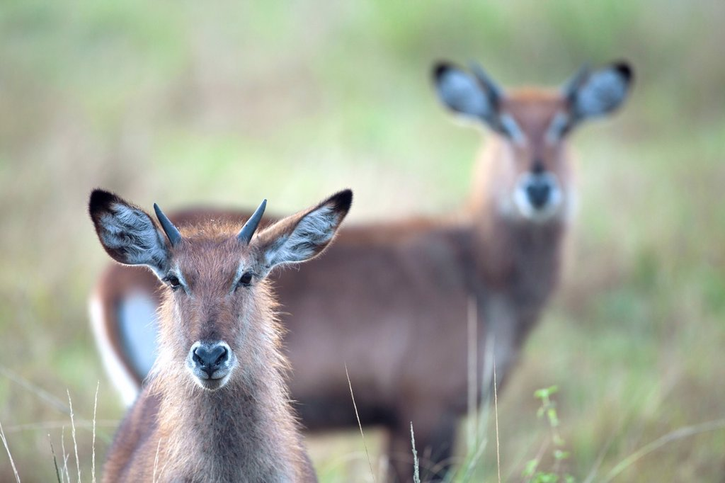 portrait of a Waterbuck, Kobus ellipsiprymnus, Queen Elizabeth National Park, Uganda : Stock Photo