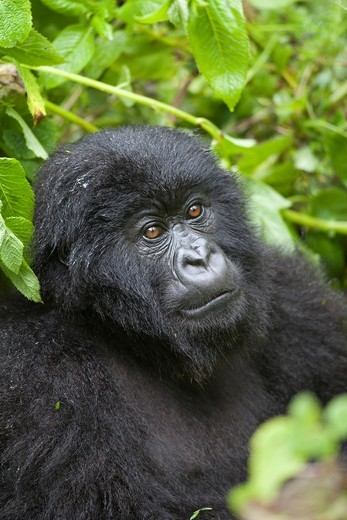 Stock Photo: 1566-589211 Mountain Gorilla, Gorilla beringei beringei, portrait of a young, Volcanoes National Park, Rwanda