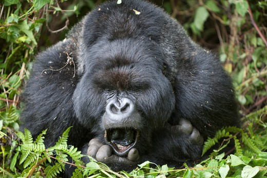 Mountain Gorilla, Gorilla beringei beringei, portrait of a yawning silverback, Volcanoes National Park, Rwanda : Stock Photo