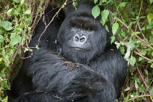 Stock Photo: 1566-589217 Mountain Gorilla, Gorilla beringei beringei, portrait of a silverback sitting in vegetation, Volcanoes National Park, Rwanda