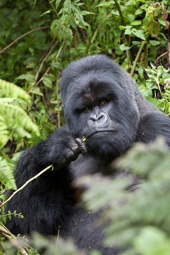 Mountain Gorilla, Gorilla beringei beringei, portrait of a silverback eating plants, Volcanoes National Park, Rwanda : Stock Photo