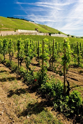 Stock Photo: 1566-589526 grand cru vineyard, L´Hermitage, Rhone-Alpes, France