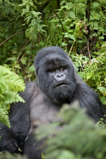 Mountain Gorilla, Gorilla beringei beringei, portrait of a silverback sitting in vegetation, Volcanoes National Park, Rwanda : Stock Photo