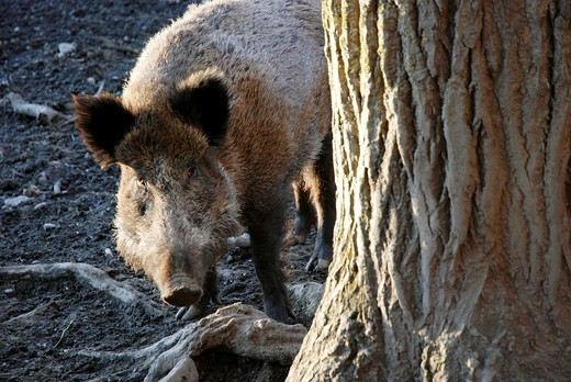 Stock Photo: 1566-589809 Boar comes out from behind a tree