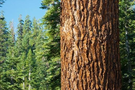 Stock Photo: 1566-590346 Fir trunk, Yosemite National Park, California