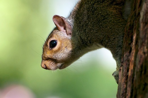 Squirrel on Tree : Stock Photo