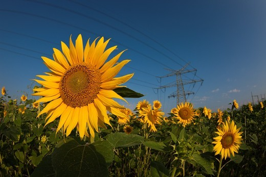 Power Lines over Sunflower Field, Helianthus annuus, Munich, Bavaria, Germany : Stock Photo