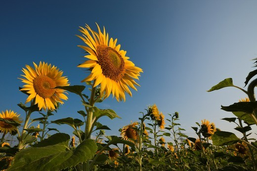 Sunflowers, Helianthus annuus, Munich, Bavaria, Germany : Stock Photo