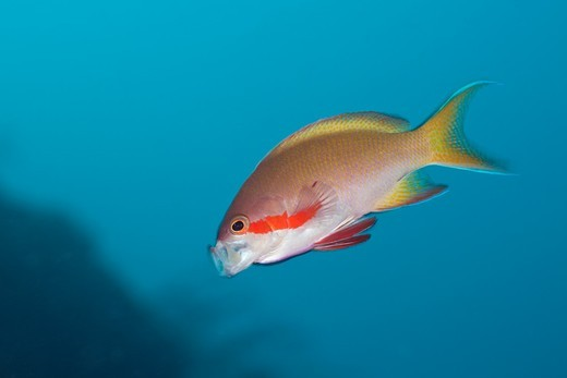 Male Red Cheeked Anthias, Pseudanthias huchtii, Alam Batu, Bali, Indonesia : Stock Photo