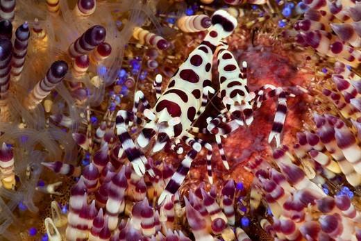 Commensal Shrimp of Fire Sea Urchin, Periclimenes colemani, Alam Batu, Bali, Indonesia : Stock Photo