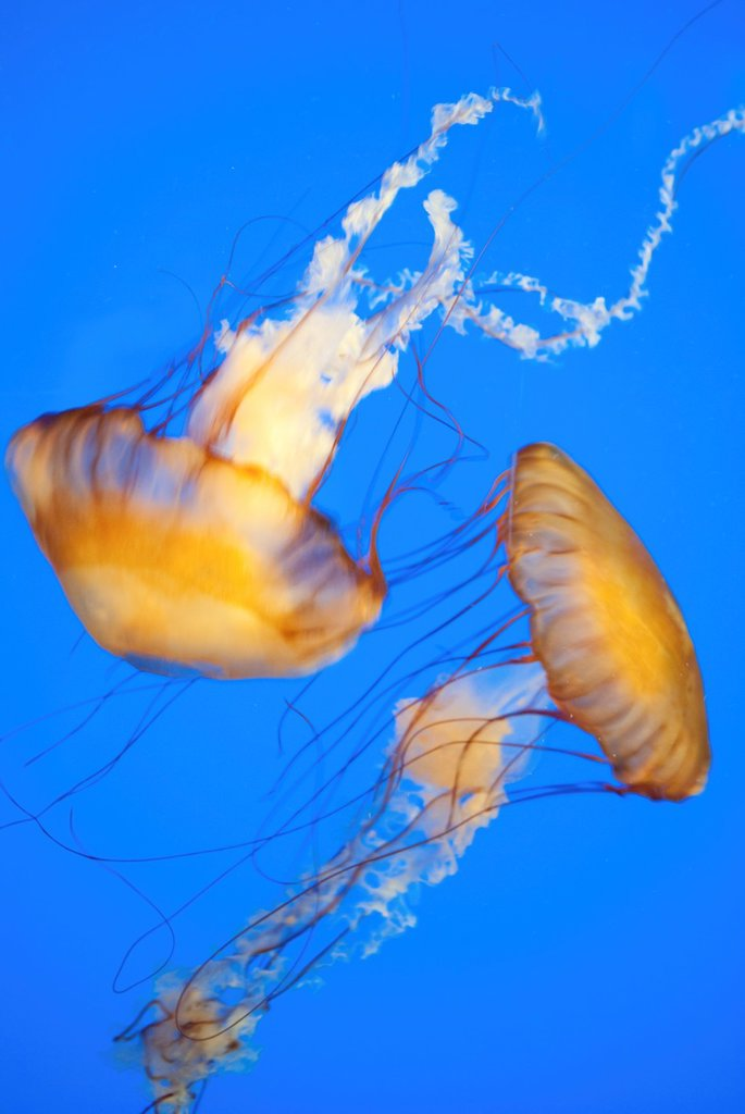 Two Jellyfish swimming at the Akron Zoo : Stock Photo