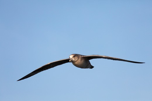 flying Northern Fulmar, Fulmarus glacialis, Spitsbergen, Svalbard : Stock Photo
