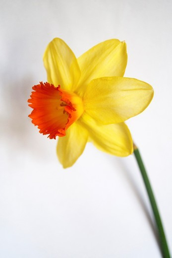 A single daffodil blossom with a fiery trumpet on a plain white background : Stock Photo