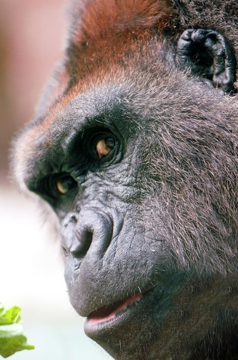 Gorilla close up with eye contact : Stock Photo