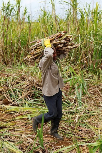 Mauritius, sugar cane cutter at work in a plantation : Stock Photo